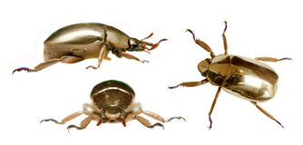 Golden beetle Royalty Free Stock Photo
