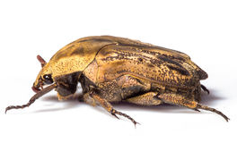 Golden Beetle. Macro shot of gold beetle against white background Royalty Free Stock Photography