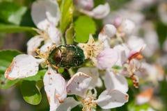 Golden beetle on apple tree flowers Stock Photo