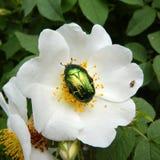 Golden beetle Stock Photography
