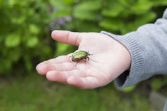 Golden beetle on hand child in garden Royalty Free Stock Photography