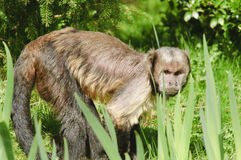 Golden-bellied Capuchin Royalty Free Stock Photo