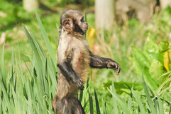 Golden-bellied Capuchin Stock Image