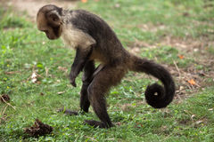 Golden-bellied capuchin Sapajus xanthosternos. Also known as the yellow-breasted capuchin Royalty Free Stock Image