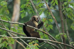Golden-bellied capuchin Stock Images