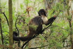 Golden-bellied capuchin Stock Photography
