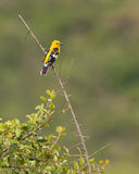 Golden-bellied Grosbeak Royalty Free Stock Photography