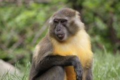 Golden-bellied mangabey. The detail of sitting golden-bellied mangabey stock images