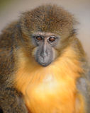 Golden bellied mangabey monkey close up looking Royalty Free Stock Photos