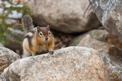 Golden-überzogenes Grundeichhörnchen Stockfotografie