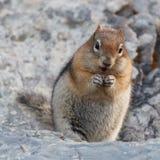 Golden-überzogenes Grundeichhörnchen Stockfotos