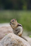 Golden-Überzogenes Grundeichhörnchen Stockfoto