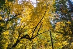 Golden Big leaf maple tree Acer macrophyllum foliage, Calaveras Big Trees State Park, California stock image