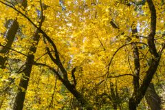 Golden Big leaf maple tree Acer macrophyllum foliage, Calaveras Big Trees State Park, California stock photo