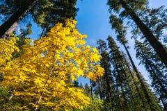 Golden Big leaf maple tree Acer macrophyllum foliage, Calaveras Big Trees State Park, California royalty free stock photography