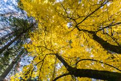 Golden Big leaf maple tree Acer macrophyllum foliage, Calaveras Big Trees State Park, California. Golden Big leaf maple tree Acer macrophyllum foliage on a sunny royalty free stock image