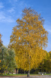 Golden birch in autumnal park Royalty Free Stock Photo