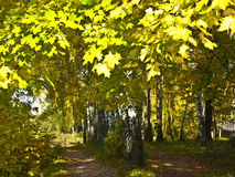 Golden Birch avenue Royalty Free Stock Image