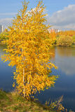 Golden birch on bank of blue lake Stock Photo