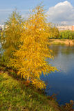 Golden birch on bank of blue lake Royalty Free Stock Image