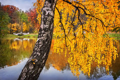 Golden birch branches. Autumn yellow birch branches over a pond Stock Photos
