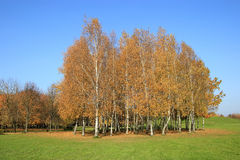 Golden birch forest Royalty Free Stock Photography