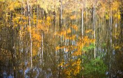 Golden birch forest on bank of lake with reflection. Autumn landscape, golden birch forest on bank of lake with reflection Royalty Free Stock Image