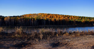 Golden birch forest Royalty Free Stock Images