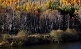Golden birch forest Stock Image