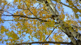 Golden birch leaves during autumn day. Beautiful shot of golden birch tree and sunny sky. Shot is taken on helios 85mm lens, which provides interesting bokeh stock video footage