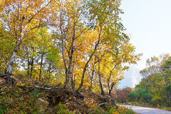 The golden birch leaves _ autumnal scenery Stock Photos