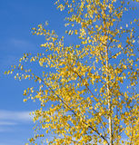 Golden birch leaves on blue sky Stock Image