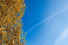 Golden birch leaves royalty free stock photos