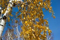 Golden birch leaves stock image