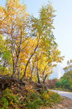 The golden birch leaves and path _ autumnal scenery Stock Photo