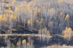 The golden birch Royalty Free Stock Photos
