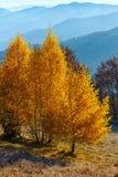 Golden birch trees in misty autumn mountain. Royalty Free Stock Photo