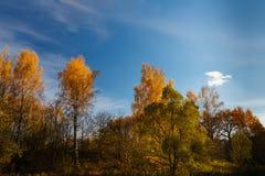 Golden birch wood Royalty Free Stock Photos