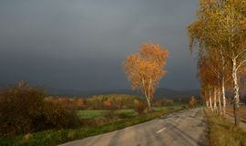 Golden birches in the fall by the road with overcast sky. Royalty Free Stock Photo
