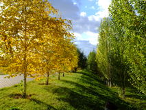 Golden birches and green poplars. With blue sky and dramatic shadows Royalty Free Stock Photo