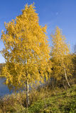 Golden birches near lake Royalty Free Stock Image