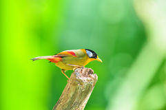 Golden Bird (Silver-eared Mesia) Stock Photo