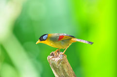 Golden Bird (Silver-eared Mesia) Royalty Free Stock Photography