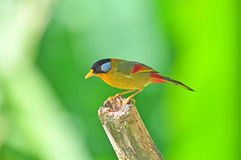 Golden Bird (Silver-eared Mesia) Royalty Free Stock Photo