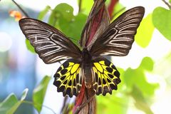 Golden Birdwing butterfly Stock Photography