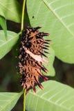 Golden birdwing butterfly caterpillar Stock Photography