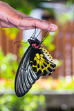Golden birdwing butterfly Royalty Free Stock Images