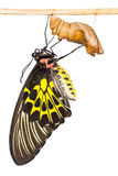 Golden birdwing butterfly Royalty Free Stock Image