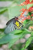 Golden Birdwing Butterfly. Royalty Free Stock Images