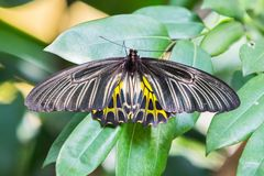 Golden birdwing butterfly Royalty Free Stock Photo
